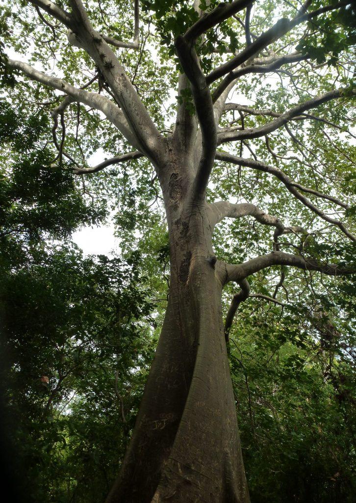 Un arbre au Nicaragua